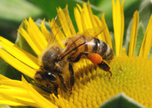 життя бджоли