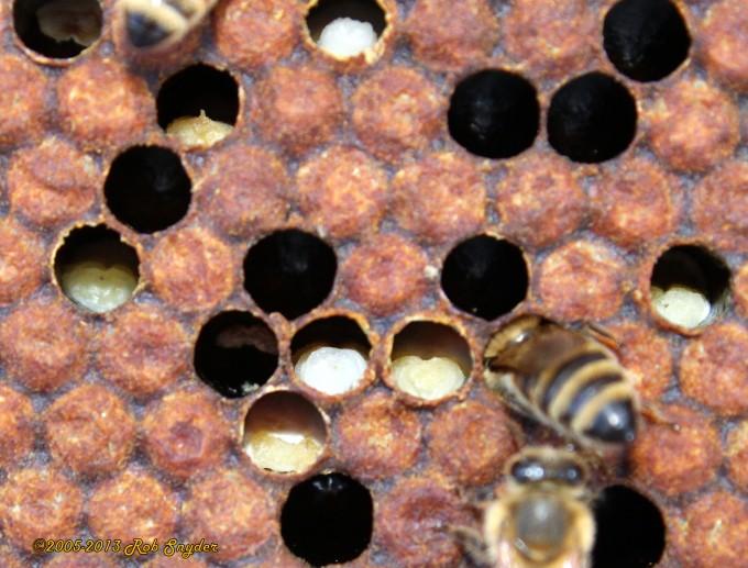 Хвороби розплоду бджіл: гнилець, аскосфероз, варроатоз