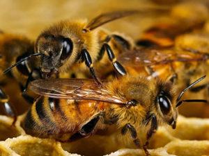 Українська бджола