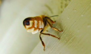 бджола яка виробляє віск