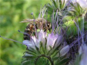 Фацелієвий мед: корисні, лікувальні властивості, цінність, фото