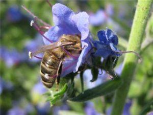 Мед із синяку: корисні і лікувані властивості, фото