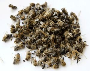 Як правильно приймати бджолиний підмор: протипоказання