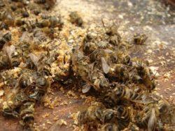 Бджолиний підмор для чоловіків: застосування, властивості, рецепти