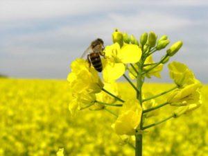 Ріпаковий мед: корисні властивості, калорійність, фото