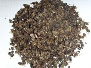 Ліки з бджолиного підмору: як приготувати в домашніх умовах.