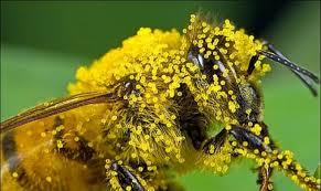 Користь бджолиного пилку для жінок: як вживати правильно