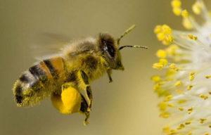 Бджолиний пилок (обніжжя) для вагітних: корисні властивості