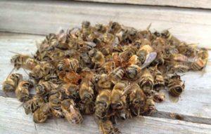 Підмор із мертвих бджіл