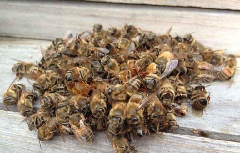 Использование пчелиного подмора при лечении простатита