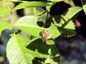 бджола-листоріз