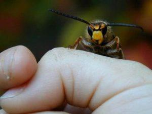 Бджолиний хижак вовк