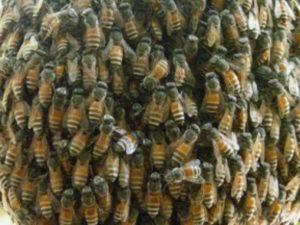 Дикі бджоли фото