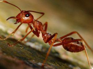 Як позбутися від мурашок в вулику та на пасіці