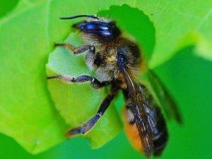 Люцернова бджола-листоріз