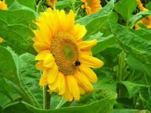 Мед із соняшника для лікування