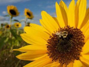 Мед із соняшника: корисні властивості, застосуванн