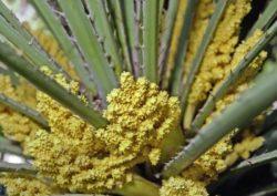 Пилок пальми: корисні властивості, склад, рецепти
