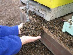 Як вибрати бджолиний підмор