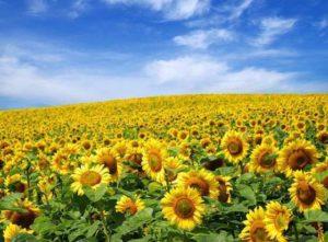 Соняшник як медонос: нектаропродуктивність