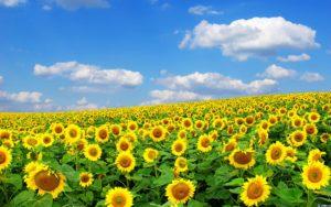 Коли цвіте соняшник