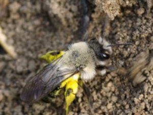 Різновиди земляних бджіл - особливості проживання