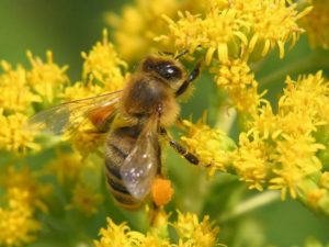Алергія на бджолиний пилок: симптоми та лікування