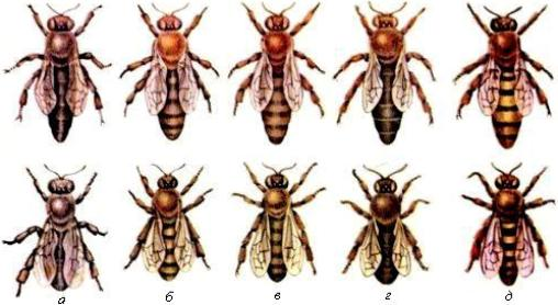 Породи бджіл фото