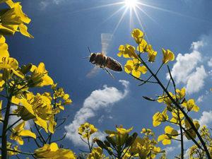 Селекційна робота з бджолами