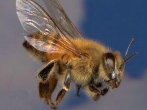 бджола обльот