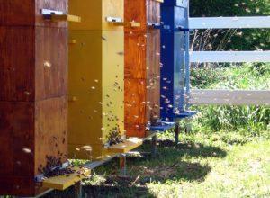 Двухматочне бджільництво