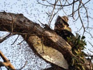 Де живуть дикі бджоли в Україні: відео, фото