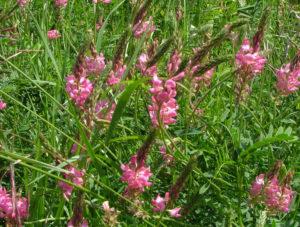 Медонос еспарцет: час цвітіння, медопродуктивність