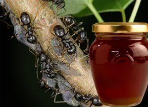 мед з паді