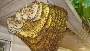 Гніздо диких бджіл