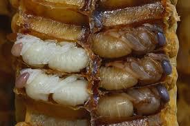 личинки бджіл стадії