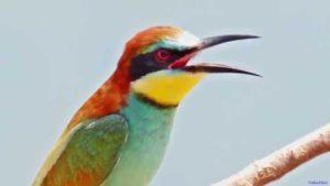 птах бджолоїдка фото