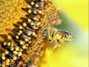 Мед із соняшника властивості