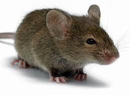 Якщо у вулику миші як з ними боротись? Методи