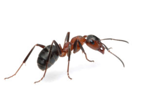 як позбавитись мурах
