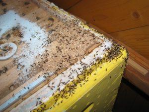 Як прогнати мурах з вулика