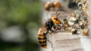 Напад шершнів на бджолиний вулик