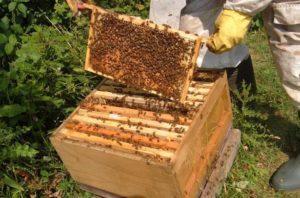 Як правильно купити бджолосім'ї початківцю