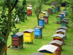 Скільки меду дає один вулик: бджільництво як бізнес