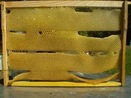 Чому бджоли розгризають вощину