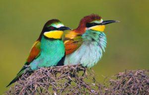 Птах щурка золотиста (бджолоїдка): заходи боротьб