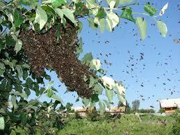 Як позбутися бджіл, ос в будинку, в стіні, на дачі