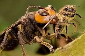 Шершень як ворог бджіл