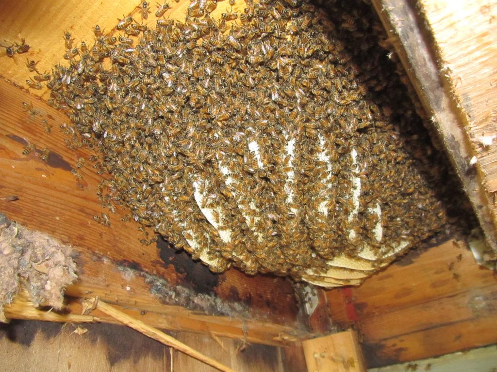 Дикі бджоли картинки