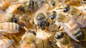 Як уникнути крадіжок бджіл